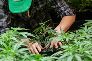 states voting on marijuana laws
